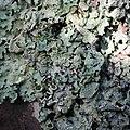 Parmelia sulcata 99828787.jpg
