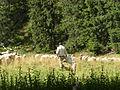 Pasterz w Dolinie Koscieliskiej.JPG