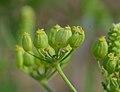 Pastinaca sativa subsp. urens inflorescence (10).jpg