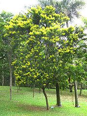Pau-brasil florido, bosque de Paus-brasil no jardim botânico de São Paulo