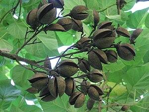 Chorioactis - Image: Paulownia Tomentosa Shell