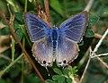 Pea Blue (Lampides boeticus) Male (6111498691).jpg
