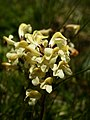 Pedicularis tuberosa (flowers).jpg
