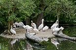 Pelícano común (Pelecanus onocrotalus), Tierpark Hellabrunn, Múnich, Alemania, 2012-06-17, DD 03.JPG