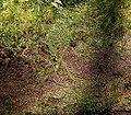 Pellia epiphylla3 ies.jpg