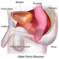 Pelvic Muscles (Male Side).png