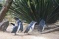 Penguins at WILD LIFE Sydney Zoo, Australia (Ank Kumar) 05.jpg