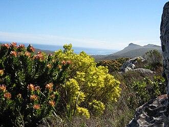 Peninsula Sandstone Fynbos - Typical Peninsula Sandstone Fynbos growing in Table Mountain National Park, Cape Town.