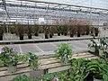 Pennisetum grasses in flower (6163939887).jpg
