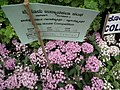 Pentas Cornia from Lalbagh flower show Aug 2013 8257.JPG