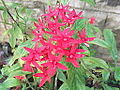 Pentas lanceolata-yercaud-salem-India.JPG