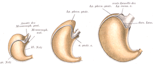 Three anatomical drawings of a stomach at different sizes, in color, with different parts highlighted