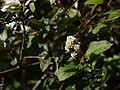 Persicaria chinensis var. ovalifolia (6368778605).jpg