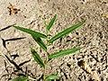 Persicaria minor sl2.jpg
