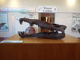 Skull of a Triassic Period Phytosaur found in the Petrified Forest National Park