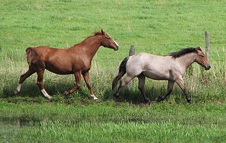 Horse care - One danger of a wire fence is that, as shown in this photo, it is practically invisible; a running animal may not see the fence until it is too late to avoid running into it. Reflective fencing flags can make the wire fence more visible.