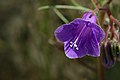 Phacelia campanularia purple flower.jpg