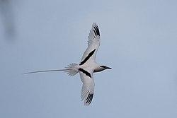 Phaethon lepturus -Midway Atoll, USA -flying-8.jpg