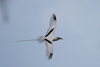 White-tailed tropicbird - Flying at Midway Atoll