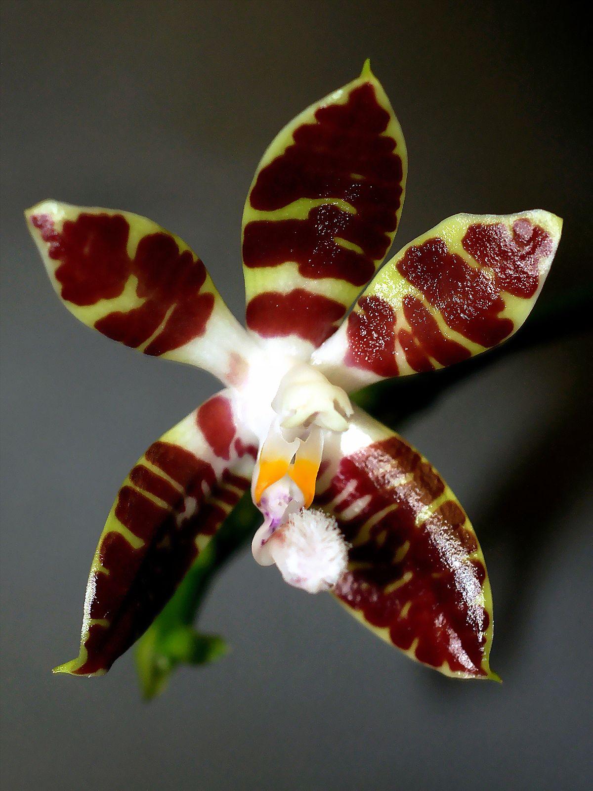 phalaenopsis sumatrana   wikipedia