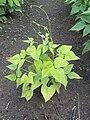 Phaseolus vulgaris nitrogen deficiency.jpg