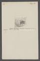 Philanthus - Print - Iconographia Zoologica - Special Collections University of Amsterdam - UBAINV0274 043 11 0062.tif