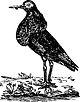 Philomachus pugnax Aksakov.jpg