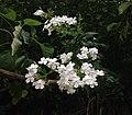 Phlox paniculata Kentucky.jpg
