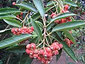 Photinia davidiana.JPG