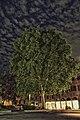 Piazza Minghetti platano comune.jpg