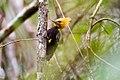 Pica-pau-de-cabeça-amarela (Celeus flavescens) - Blond-crested Woodpecker.jpg