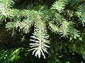 Picea asperata - Botanischer Garten, Frankfurt am Main - DSC03296.JPG