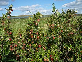 Pick your own gooseberries - geograph.org.uk - 201486.jpg