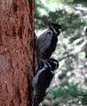 Picoides dorsalis Rocky Mountain NP.jpg
