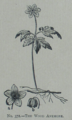 Picture Natural History - No 372 - The Wood Anemone.png