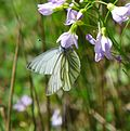Pieris napi clinging to Cardamine pratensis in Solling.JPG