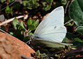 Pieris rapae - Small White butterfly 3.jpg