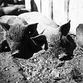 Pig Fortepan 16110.jpg