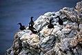 Pigeon guillemot on the Northern California coast (5709972851).jpg