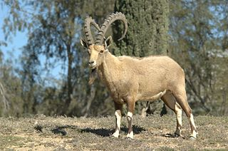Nubian ibex Species of mammal