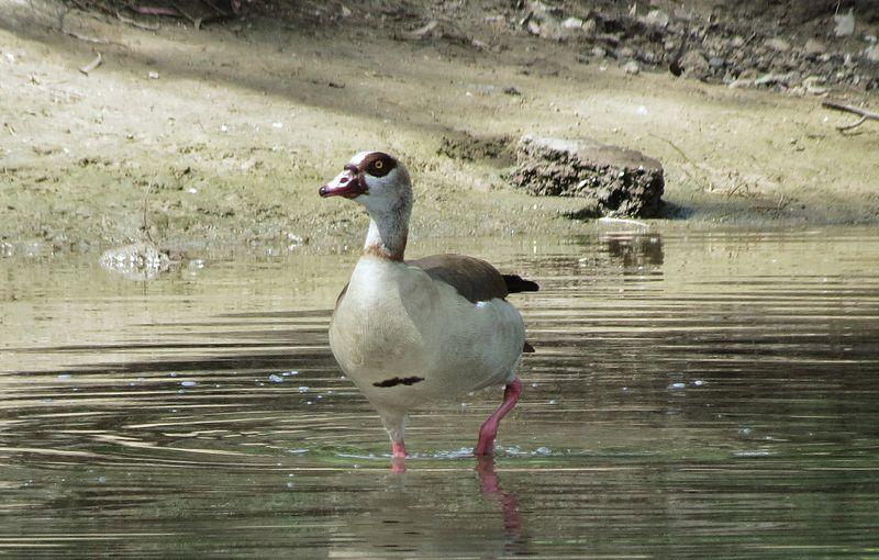 ברווז על גדות נהר הירקון