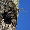 Pileated Woodpecker (6156783376).jpg