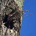 Pileated Woodpecker (6156783376).jpg