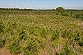 Pine tree plantation in Nacogdoches County. (25112373725).jpg