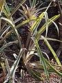 Pineapple Bush.jpg
