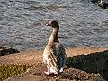 Pink-footed Goose, Ennerdale Water - geograph.org.uk - 269908.jpg