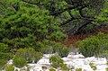 Pinus elliottii USDAFS.jpg
