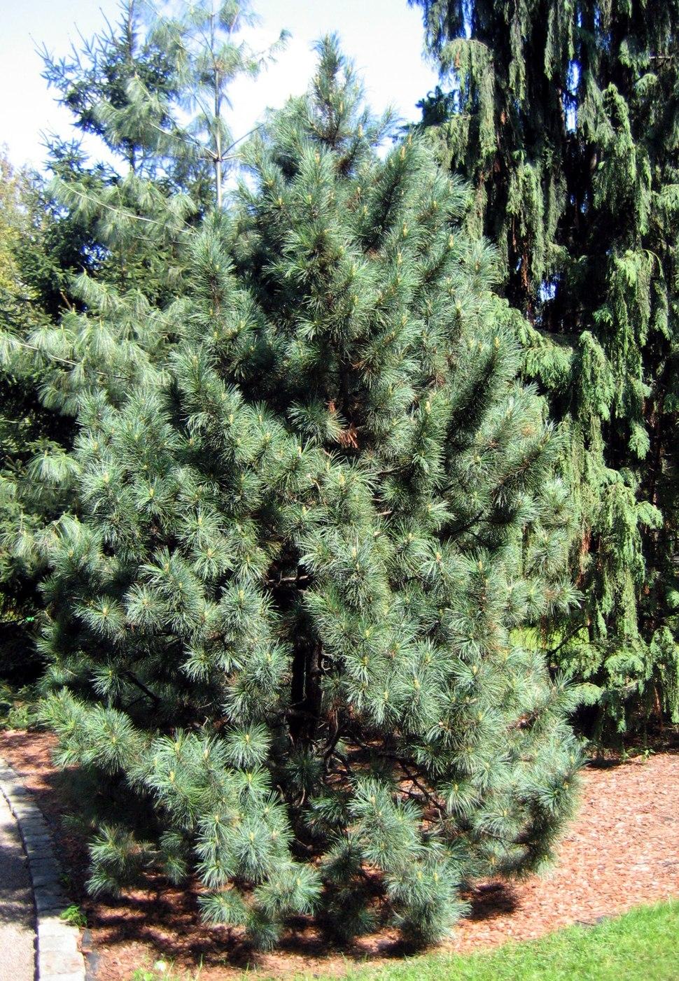 Pinus koraiensis 01
