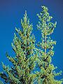 Pinus monticola Idaho4.jpg