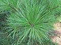 Pinus taeda 15zz.jpg